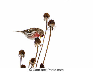 isolated., redpoll, mâle, commun