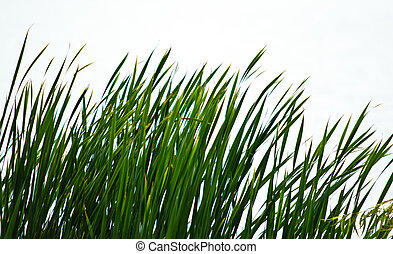 Isolated Reeds on shore