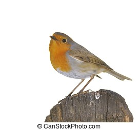 Isolated robin. - A isolated robin on a white background.