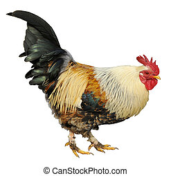 Isolated rooster