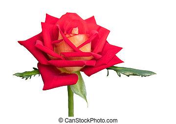 isolated rose for holidays on white background