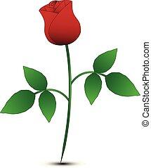 isolated rose on white background