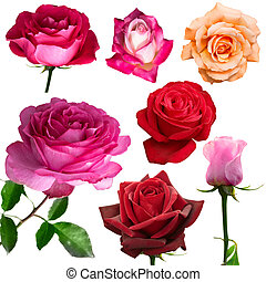 isolated rose with white background