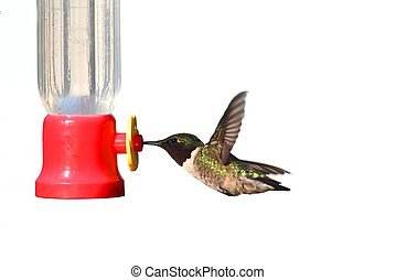 Male Ruby-throated Hummingbird (archilochus colubris) in flight at a feeder isolated on a white background