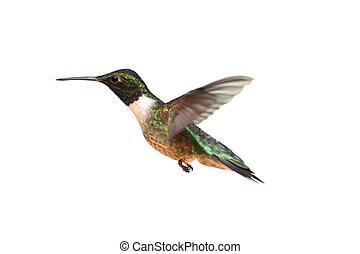 Isolated Ruby-throated Hummingbird