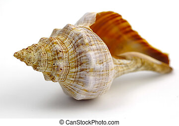 Sea Shell - Isolated Sea Shell