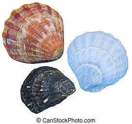 isolated., seashells