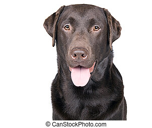 Isolated Shot of a Happy Panting Chocolate Labrador