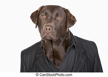Isolated Shot of a Smart Chocolate Labrador in Pinstripe...