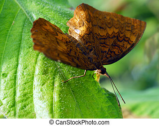 brown angled castor Butterfly insect