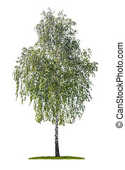 isolated silver birch on a white background