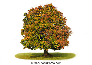 isolated single beech tree over white