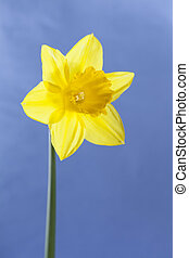 Isolated single dafodil on sunny blue background, happy and...