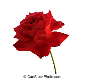 isolated single red rose