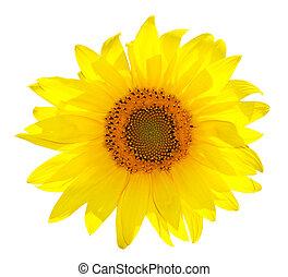 Isolated Single Sunflower On White