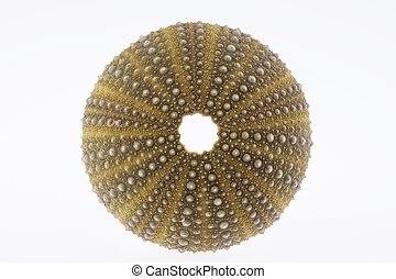 isolated  skeleton of sea shell green  echinoidea - macro