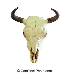 isolated skull of european bison