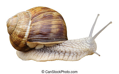 Isolated snail of Burgundy - Snail of Burgundy (Helix...