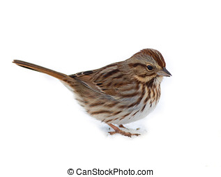 Isolated Song Sparrow - A cute Song Sparrow photographed...