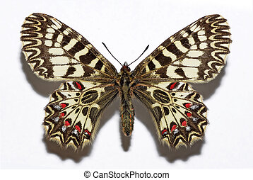 Isolated Southern Festoon butterfly - Southern Festoon...