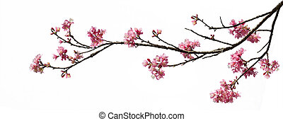 isolated Spring cherry blossoms on white background with...