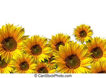 Isolated sunflower field