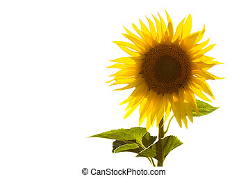 Isolated sunflower on white, backlit by the sun.