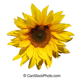 Sunflower isolated for easy usage