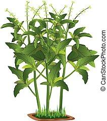 isolated Thai sweet basil plant on white background vector design