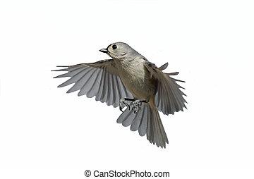 Isolated Titmouse In Flight - Tufted Titmouse (Baeolophus...