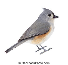 Isolated Titmouse