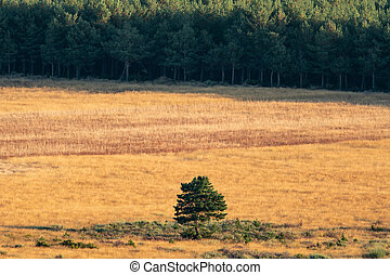 Isolated tree in cultivated land near pine tree forest