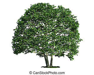 isolated tree on white, Alder (Alnus)