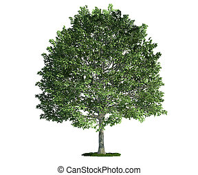 isolated tree on white, hornbeam (carpinus)