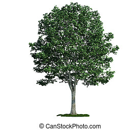 isolated tree on white, Linden (Tilia)