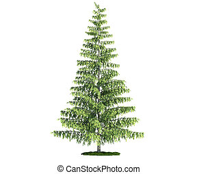 isolated tree on white, Pine (pinus)