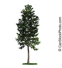 Scots Pine (latin: Pinus sylvestris) tree isolated against pure white
