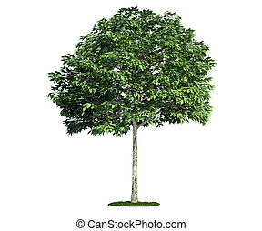 isolated tree on white, Whitebeam (Sorbus)