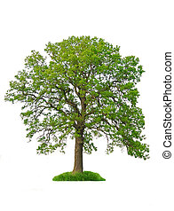 Isolated tree - Single oak tree with green leaves isolated ...
