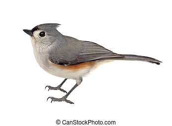 Isolated Tufted Titmouse