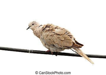 isolated turtledove on electric wire