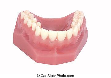Teeth - Isolated Upper Teeth