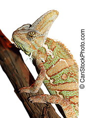 isolated veiled chameleon - veiled chameleon ( Chamaeleo...