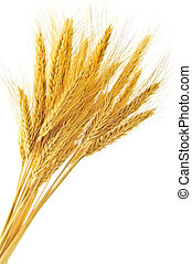 Isolated wheat ears - Stalks of golden wheat grain isolated...