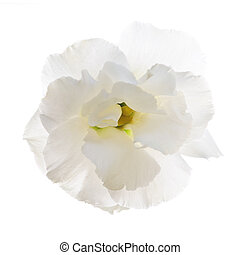 Isolated white flower - Flower called prairie rose isolated ...