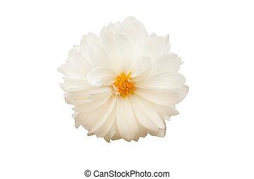 Isolated white flower flower called prairie rose isolated isolated white flower mightylinksfo