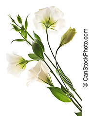 Isolated white flowers - Flowers called prairie rose ...