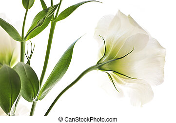Isolated white flowers - Flowers called prairie rose...