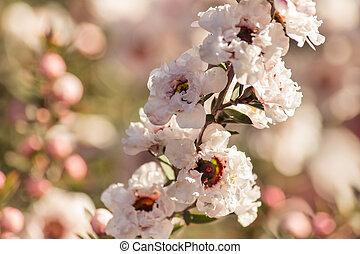 white manuka tree flowers in bloom - isolated white manuka ...