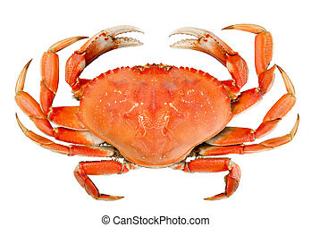 Isolated Whole Dungeness Crab - Cooked whole dungeness crab...